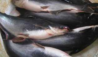Turun Hingga Rp5.000 per Kilogram, Ini Harga Ikan Patin dan Gurami di Pekanbaru