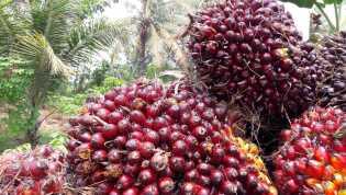 Harga TBS Sawit Riau Naik Jadi Rp1.600 Lebih per Kilogram