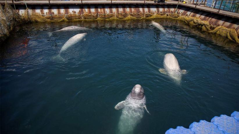 Rusia Bakal Bebaskan Hampir 100 Paus Orca dan Beluga dari 'Penjara'