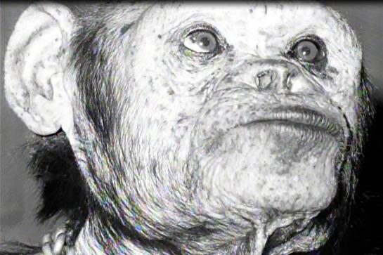Oliver the Humanzee - Setengah simpanse setengah manusia?