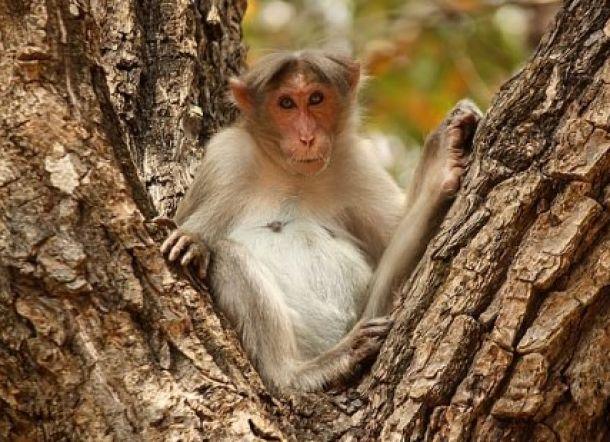 Monyet Rampas Bayi dari Ibunya dan Membunuhnya
