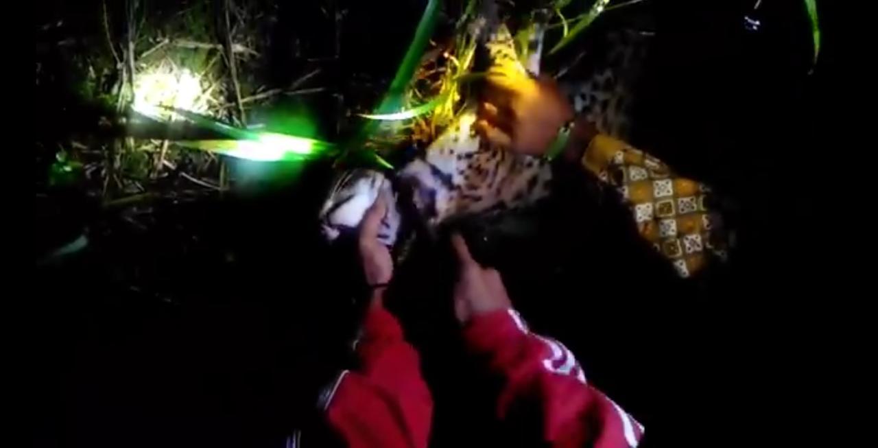 Sungguh Sadis! Unggah Sembelih Harimau Akar di Medsos, Pemilik Akun Ini Dihujat, Lihat Videonya