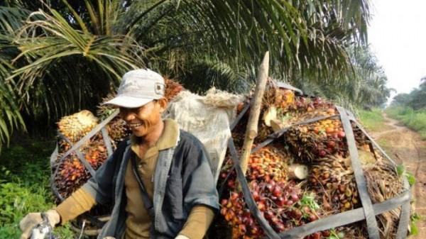 Harga TBS Sawit di Riau Naik Karena Aura Damai Perang Dagang AS-China