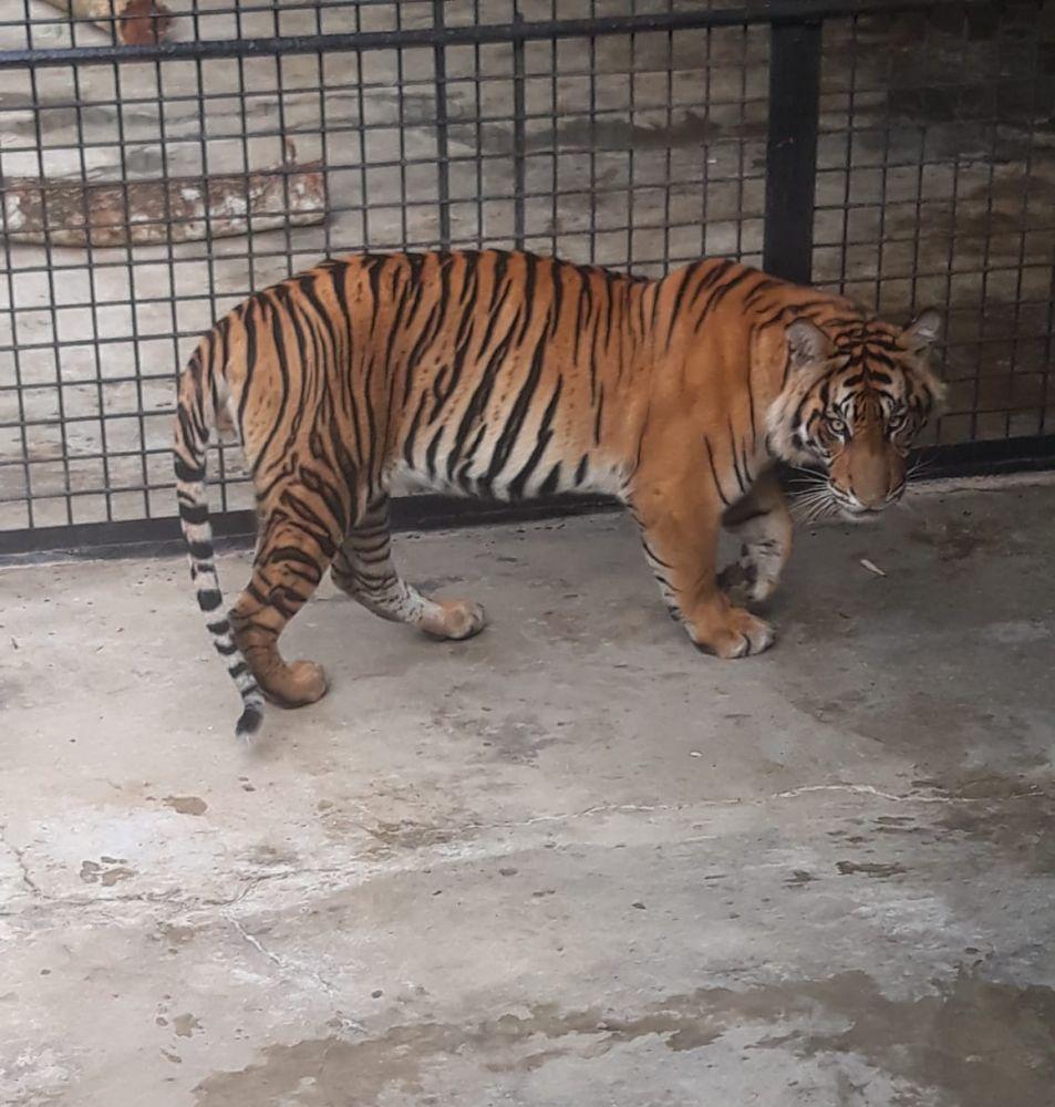 Upaya KLHK Dalam Penyelamatan Harimau Sumatera di Tengah Pandemi Corona