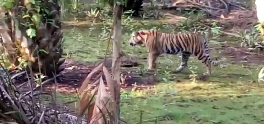 Mencekam, Sempat Dilumpuhkan Harimau Bonita Berhasil Kabur