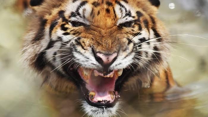 Penampakan Dua Ekor Anak Harimau di Tapung Heboh, Apa Kata BBKSDA