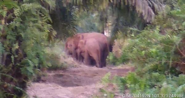 11 Ekor Gajah Liar Kembali Masuk Permukiman Warga di Kampar