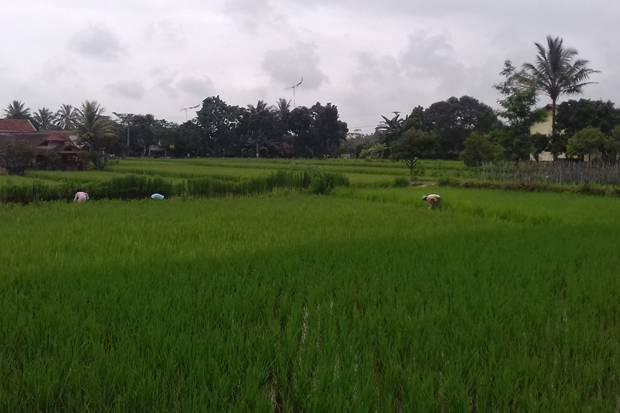 Saat Indonesia Menolak Bantuan Beras dari Belanda