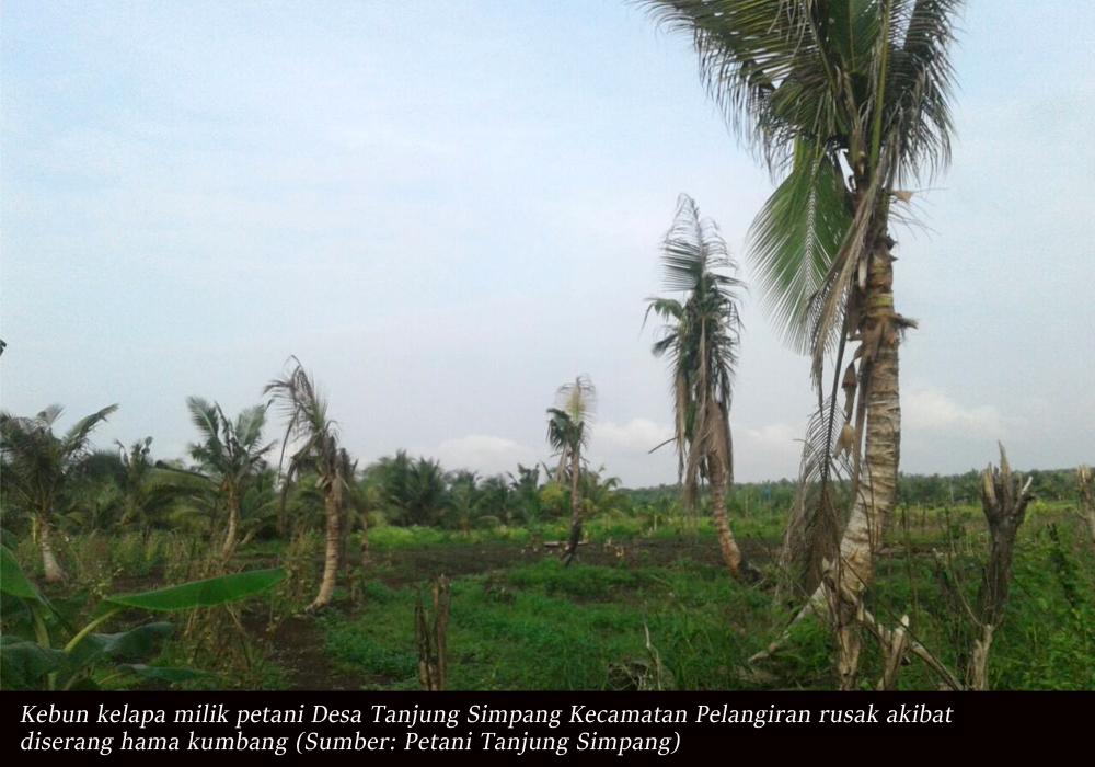 15 Ribu Batang Lebih Kebun Kelapa Rusak, Petani Desa Tanjung Simpang Tuntut PT THIP Bertanggung Jawab