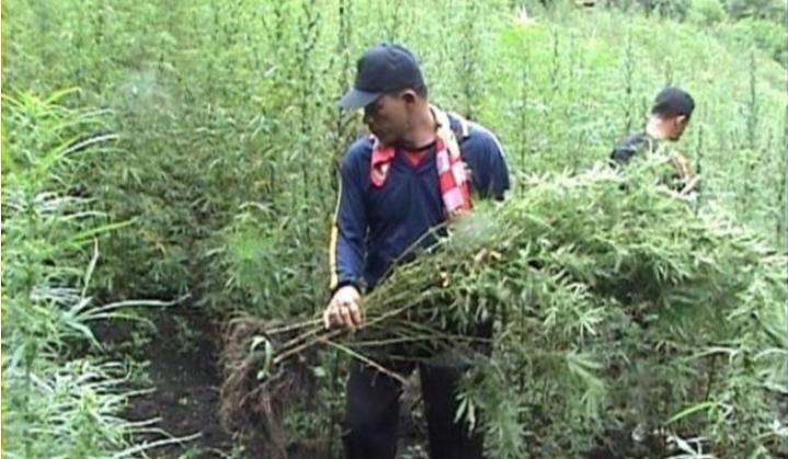 Geger ! Anggota TNI Temukan Ladang Ganja Digarut Jawa Barat