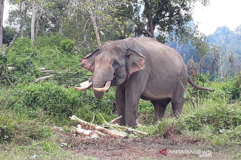 Konflik Gajah di Riau Akibat Kerusakan Lanskap Tesso Nilo