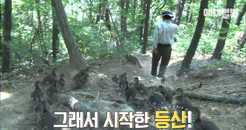 Dikira Induk, Puluhan Itik Ikuti Pria Mendaki Gunung