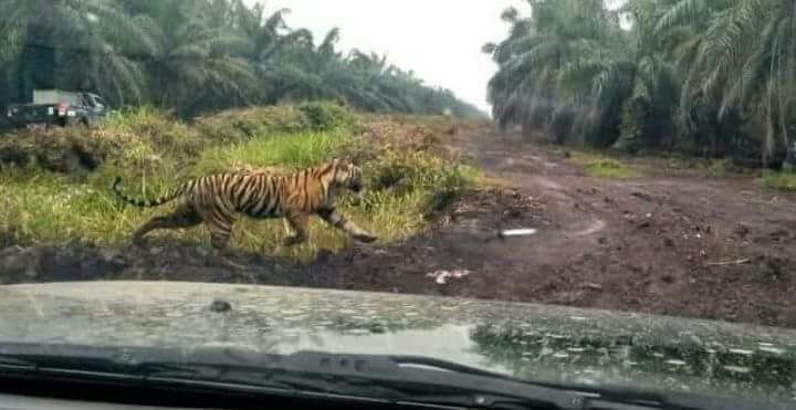 2 Warga Tewas Diterkam Harimau, Jikalahari: Pemerintah Lalai Biarkan Perusahaan di Lansekap Kerumutan