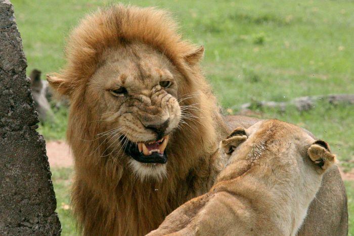 Pemburu Badak Tewas Diinjak Gajah, Tubuhnya Dimangsa Kawanan Singa