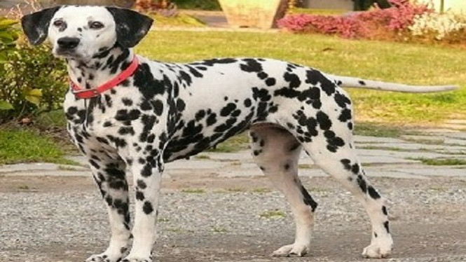 39++ Gambar anjing dalmatian terbaru
