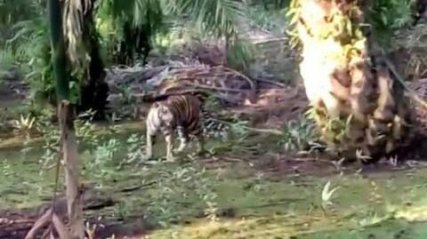 BBKSDA Riau Belum Tangkap Harimau Pemangsa Karyawati