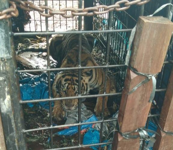 BKSDA Berhasil Tangkap Harimau Sumatera di Inhil