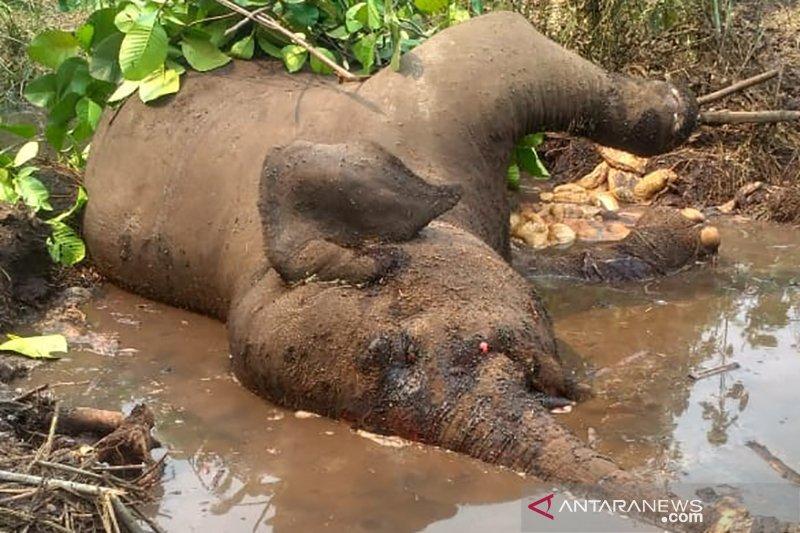 Kematian Gajah Sumatera Berkaki Buntung Diduga Akibat Sakit