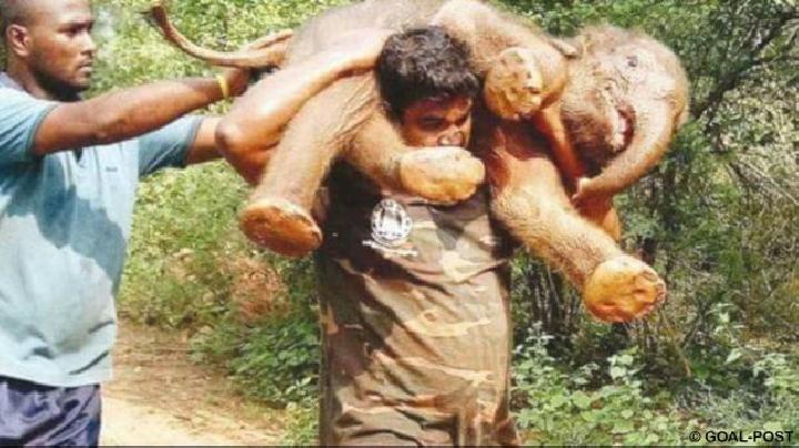 Laki-laki Ini Memanggul Bayi Gajah yang Lemah Bertemu Induknya
