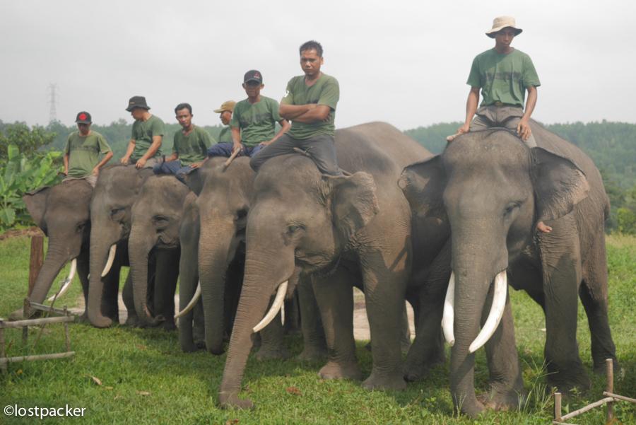 Jumlah Gajah dan Harimau Sumatera di Riau Makin Berkurang