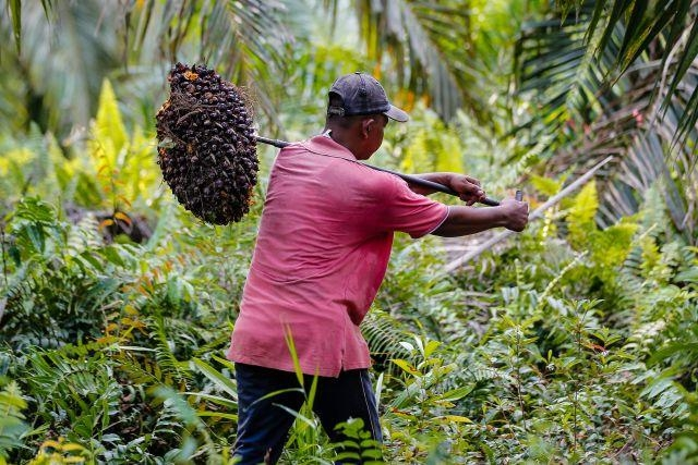Harga TBS Kelapa Sawit di Riau Turun Rp21,51 per Kilogram