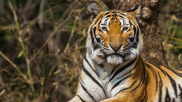 Pancing Harimau Pemangsa Manusia, Polisi Gunakan Parfum