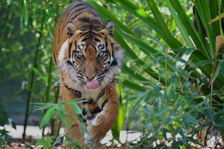 Warga Ketakutan! Harimau Berkeliaran, Hewan Ternak Tewas dengan Luka Gigitan