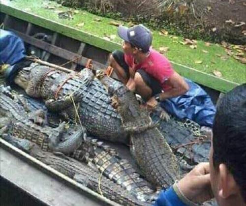 Misteri Ratusan Buaya Raksasa Penyerang Manusia di Teluk Belengkong, Katanya Berasal dari...