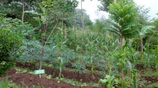 Atasi Masalah Ekonomi, Distanak Rohil Himbau Penganekaragaman Tanaman di Perkebunan