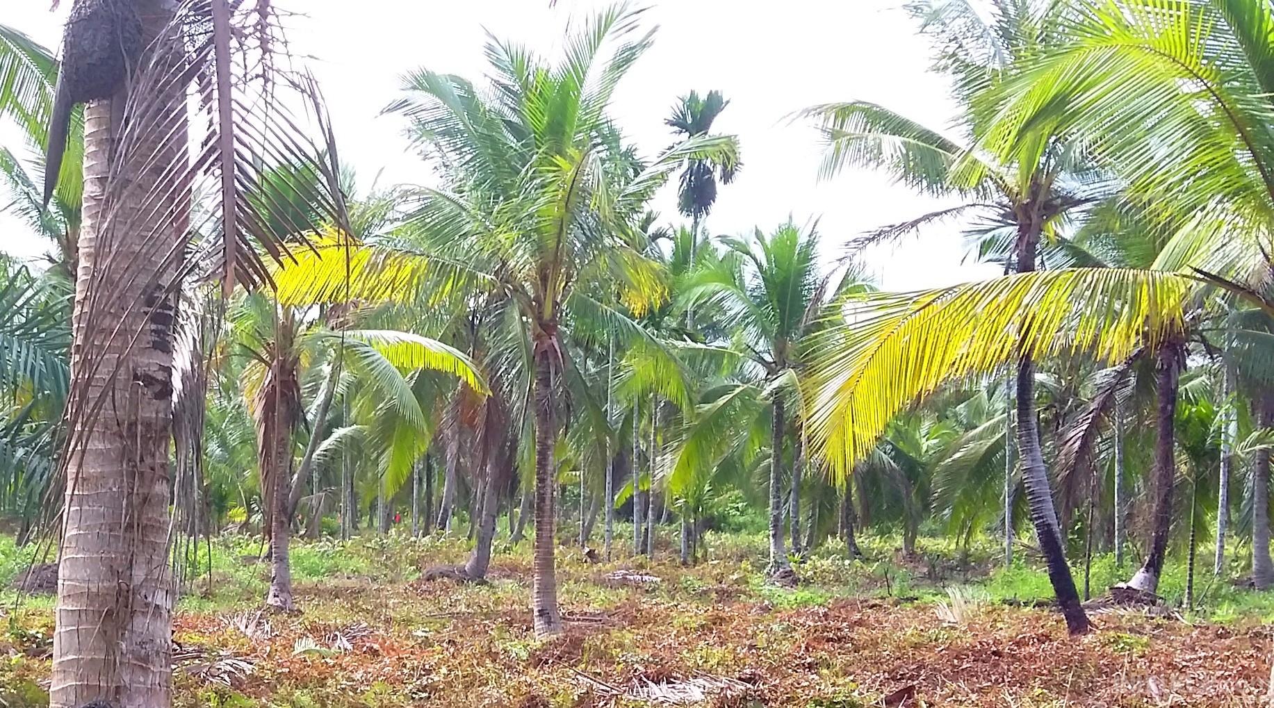 Ratusan Hektar Kebun Kelapa Rusak, Pemda Inhil Akan Bangun 400 KM Tanggul