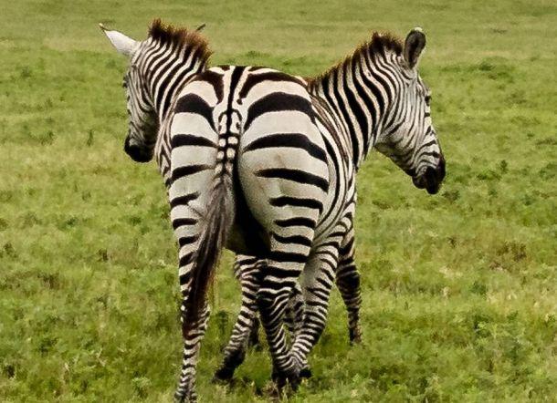 LUAR BIASA! Fotografer ini Berhasil Menangkap Foto Zebra Berkepala Dua