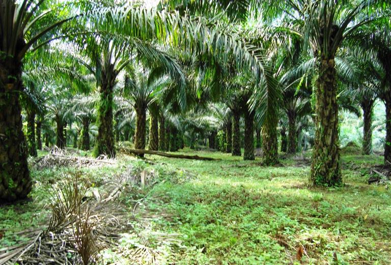 Hanya Bermodal SKT Desa, PT Ronatama Mampu Kelola Kebun di Kawasan Hutan Indragiri Hulu