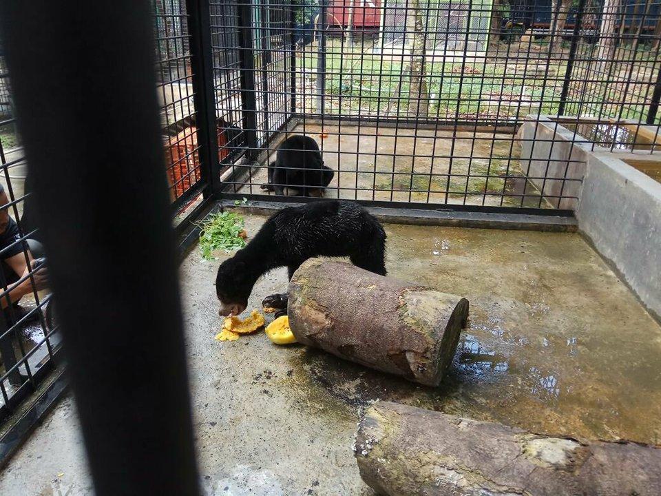 BBKSDA Riau Relokasi Sepasang Beruang Madu