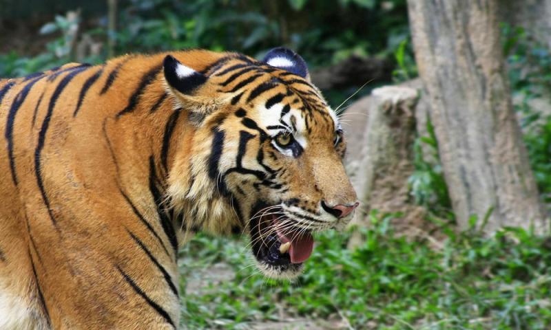 BREAKING NEWS: Harimau yang Tewaskan Dua Warga di Inhil Akhirnya Berhasil Ditangkap