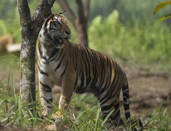BBKSDA Siapkan 2 Perangkap Tangkap Harimau di Inhil