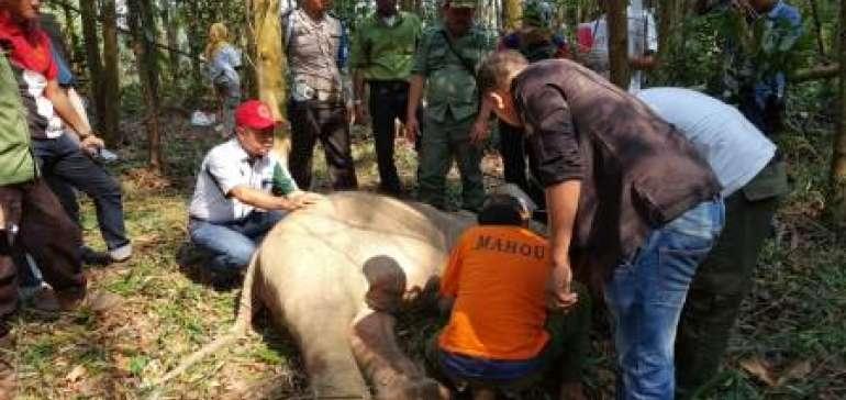 Terkena Terjerat Babi, Anak Gajah Liar Terpaksa Dievakuasi