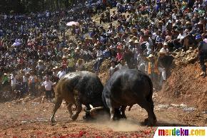 Melihat keganasan banteng bertarung di Festival Mid-Autumn>
